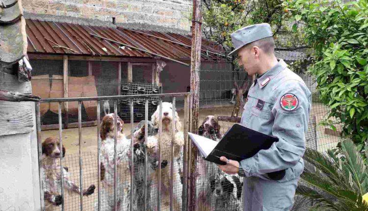 Deteneva 38 cani in piccole recinzioni, denunciato gestore di un allevamento nel casertano